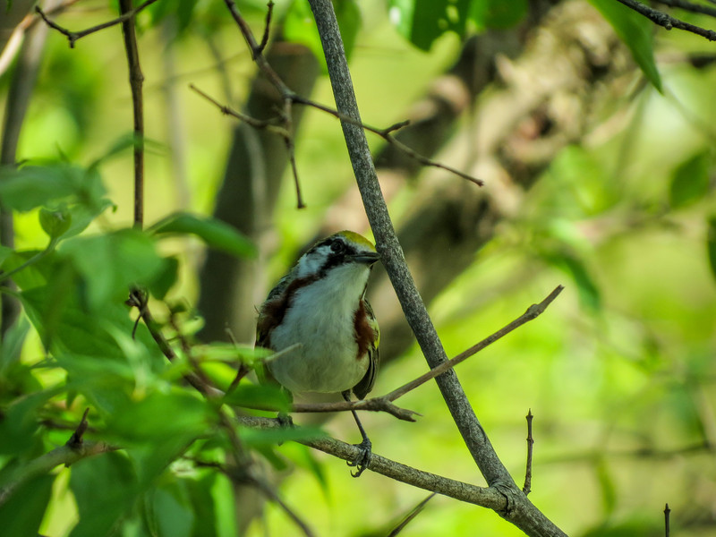 Chestnut-sided Warbler, Magee Marsh OH