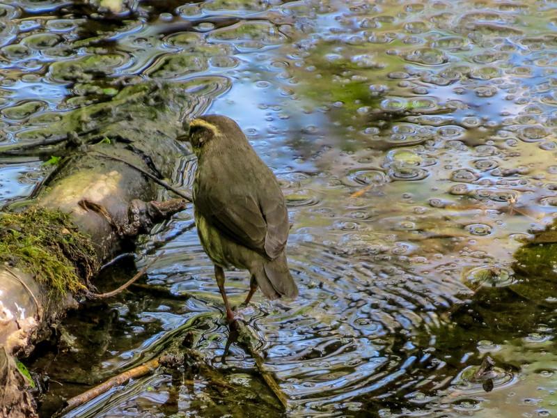 Northern Waterthrush, Magee Marsh OH