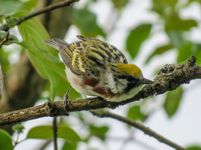 Chestnut-sided Warbler, Magee Marsh, OH