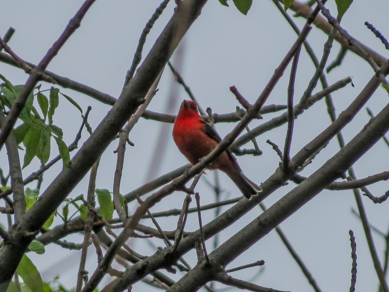 Scarlet Tanager, Magee Marsh OH