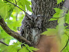 Eastern Screech Owl, Magee Marsh, OH