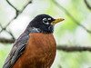 American Robin, Magee Marsh, OH