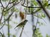 Blue-headed Vireo, Magee Marsh, OH