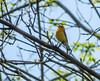 Prothonatory Warbler, Magee Marsh, OH