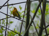 Prothonotary Warbler, Magee Marsh OH