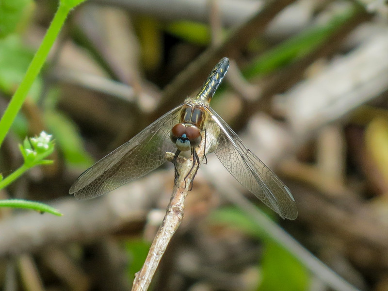 Female Blue Dasher, Magee Marsh, OH