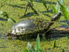 Map Turtle, Magee Marsh, OH