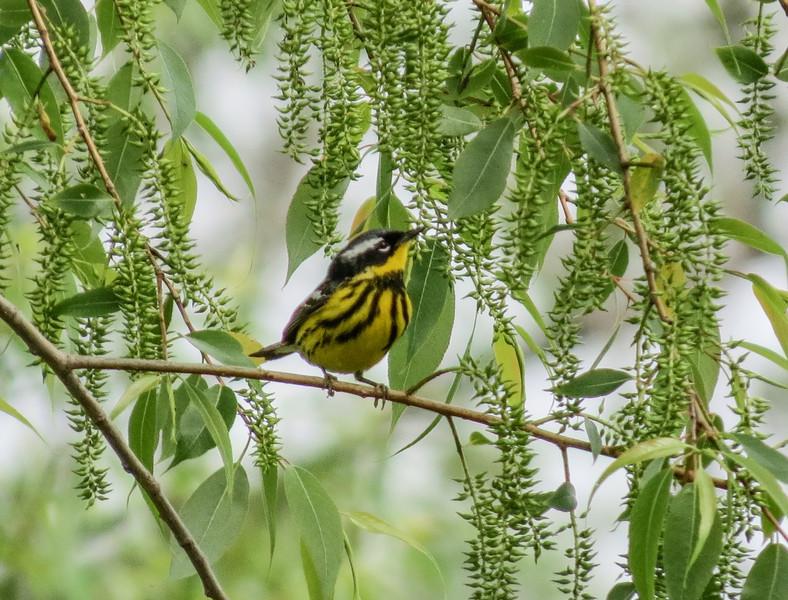 Magnolia Warbler, Magee Marsh, OH