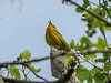 Yellow Warbler, Magee Marsh, OH