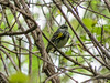 Yellow-rumped Warbler, Magee Marsh, OH