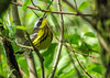 Magnolia Warbler, Magee Marsh OH