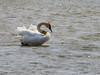 Trumpeter Swan, Ottawa NWR, OH