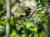 Magnolia Warbler, Magee Marsh, OH