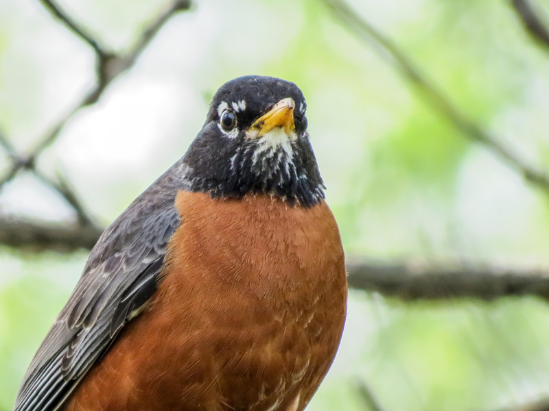 American Robin, Magee Marsh, OH