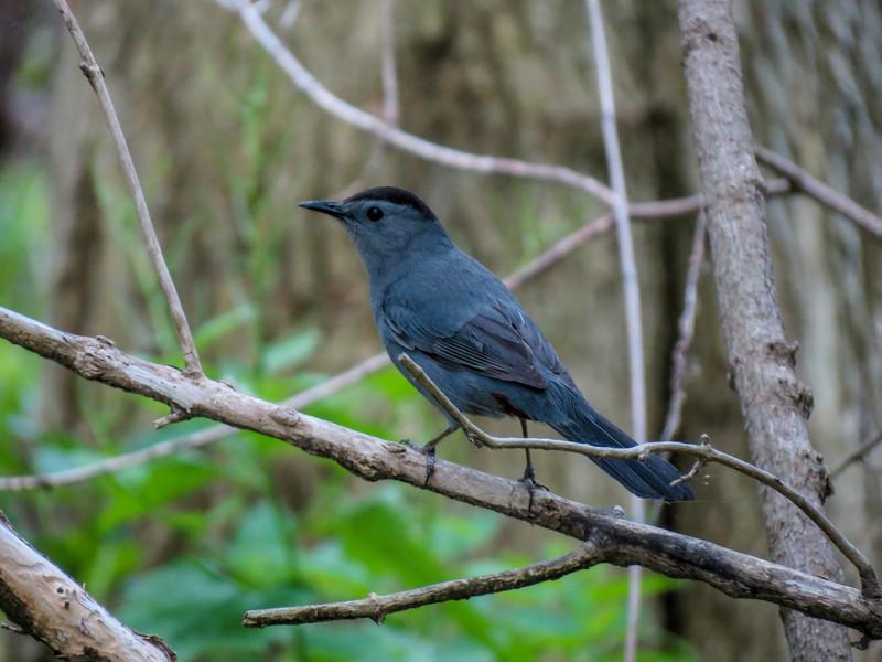 Catbird, Magee Marsh, OH