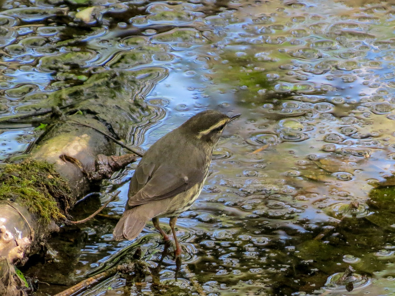 Northern Waterthrush, Magee Marsh OH