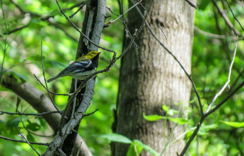 Black-troated Green Warbler, Magee Marsh OH