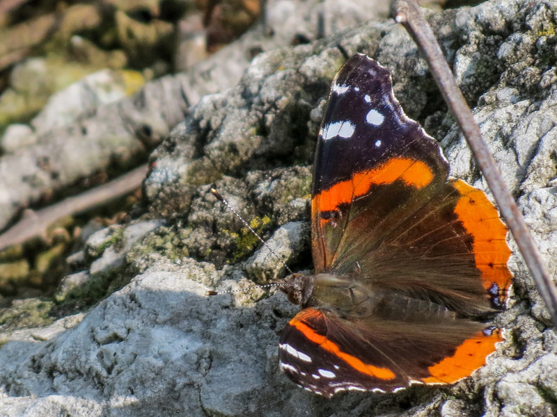 Red Admiral, Magee Marsh, OH