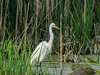 Great Egret, Magee Marsh, OH
