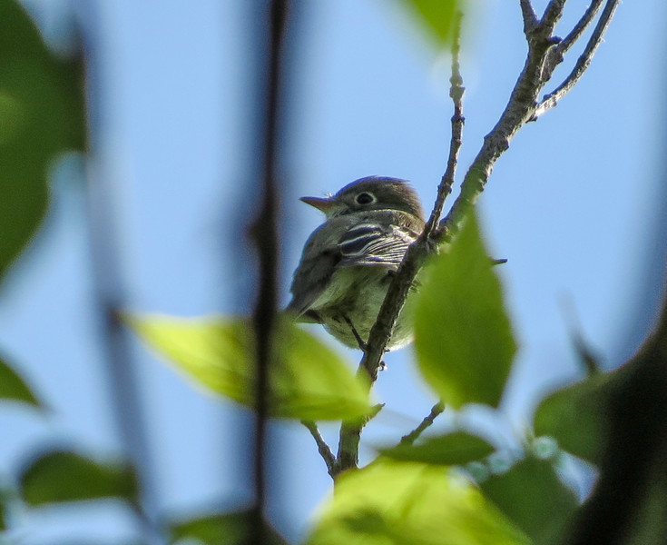 Least Flycatcher, Magee Marsh, OH