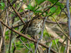 Hermit Thrush, Magee Marsh, OH