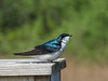 Tree Swallow, Ottawa NWR, OH