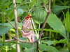 Cecropia Moth, Magee Marsh OH