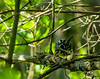 Black and White Warbler, Magee Marsh, OH