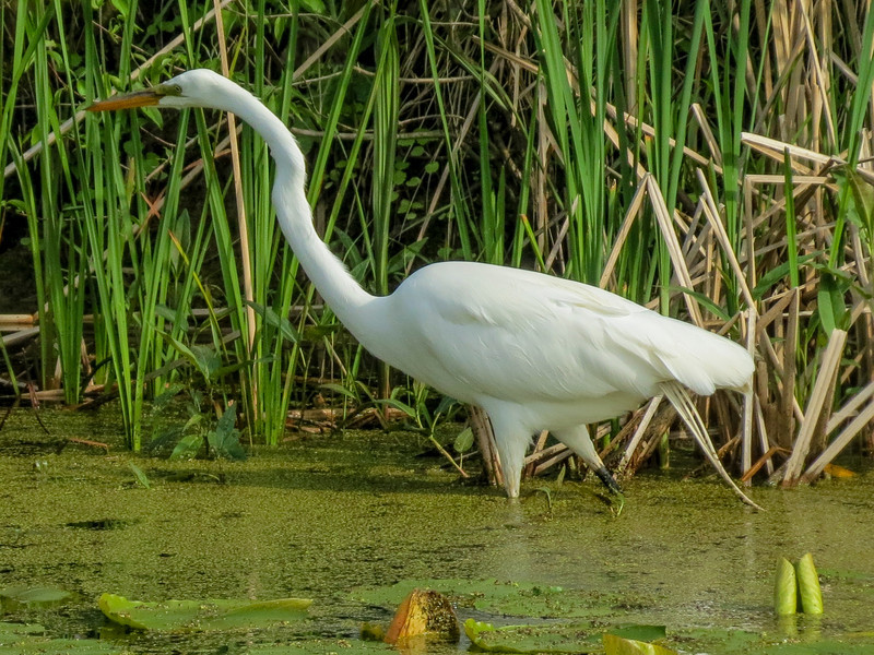 Great Egret. Magee Marsh, OH