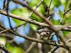 Chickadee, Magee Marsh OH