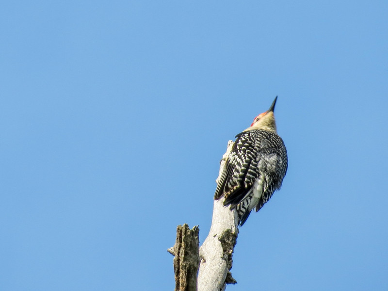 Red-bellied Woodpecker, Magee Marsh OH