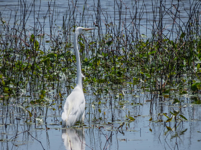 Great Egret, Ottawa NWR, OH