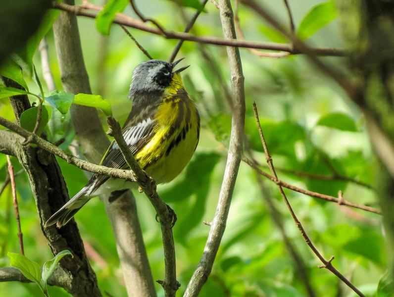 Magnolia Warbler, Magee Marsh OH