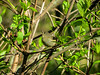 Ruby-crowned Kinglet, Magee Marsh OH
