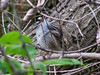 White-crowned Sparrow, Magee Marsh, OH