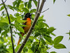 Baltimore Oriole, Magee Marsh, OH