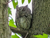 Eastern Screech Owl, Magee Marsh, OH