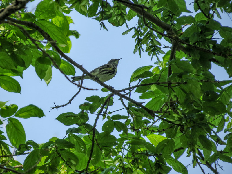 Blackpole Warbler, Magee Marsh OH