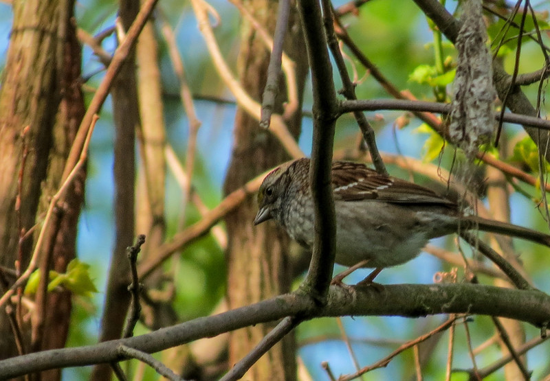 Lincoln Sparrow, Magee Marsh, OH
