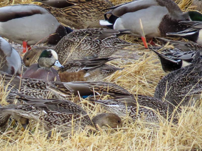 Pintails, Mallards, Wigeon, Bosque del Apache NWR, Socorro NM