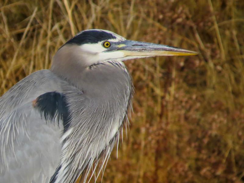 Great Blue Heron, Bosque del Apache NWR. Socorro NM