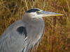 Great Blue Heron, Bosque del Apache NWR. Socorro NM