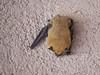 Brown Bat, Bosque del Apache NWR, Socorro NM