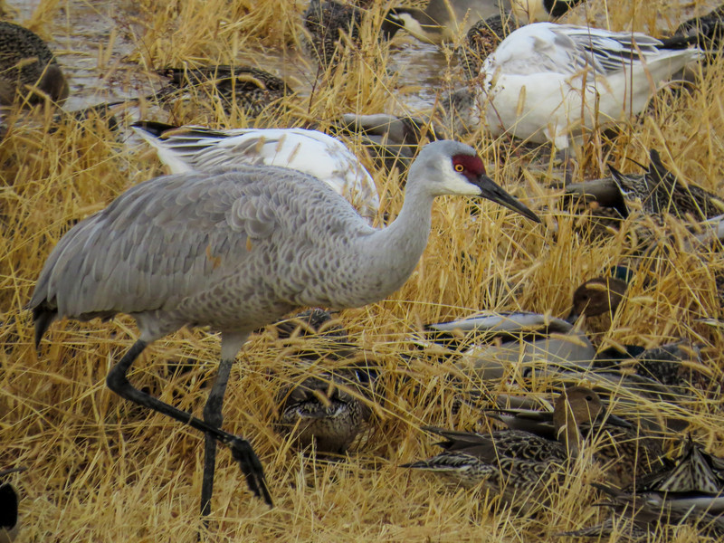 Snow Geese and Sandhill Cranes, Bosque del Apache NWR, Socorro NM