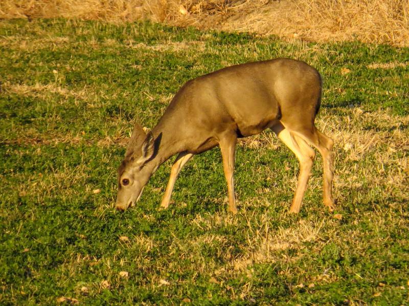Mule Deer, Bosque del Apache NWR, Socorro NM