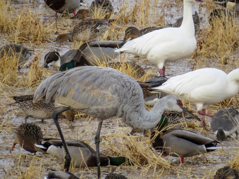 Snow Geese and Sandhill Cranes, Bosque del Apache NWR, Socorro NM