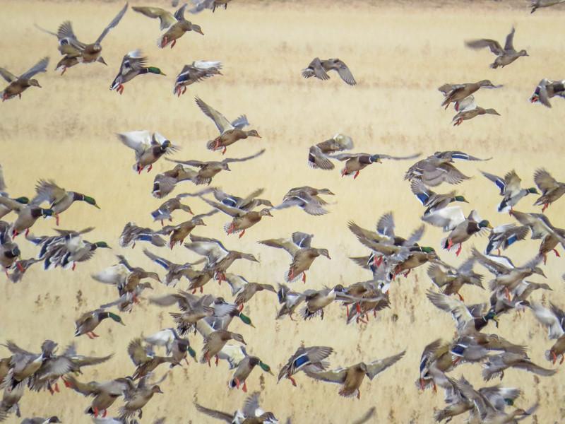 Mostly Mallards, Bosque del Apache NWR, Socorro NM