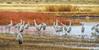 Sandhill Crane, Bosque del Apache NWR, Socorro NM