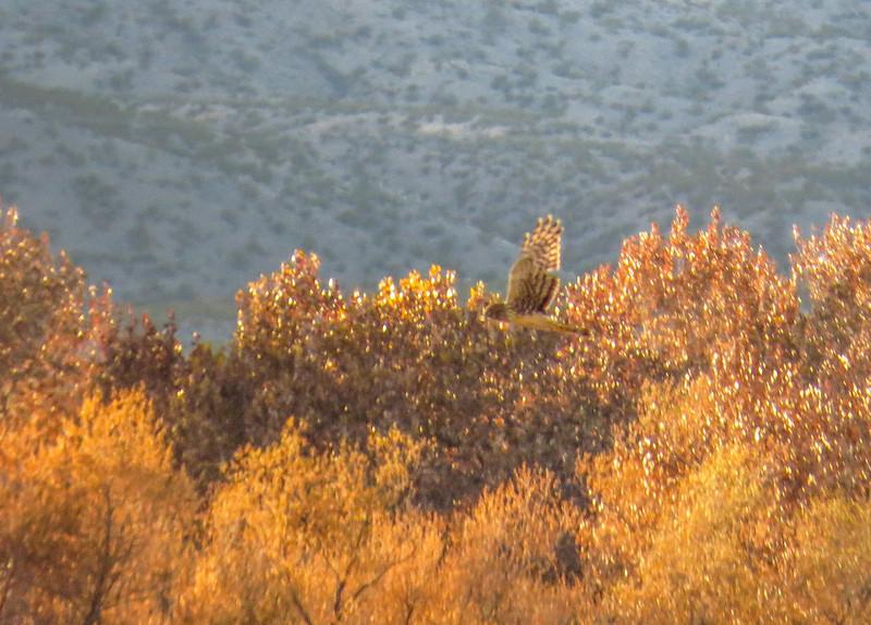Northern Harrier, Bosque del Apache NWR, Socorro NM