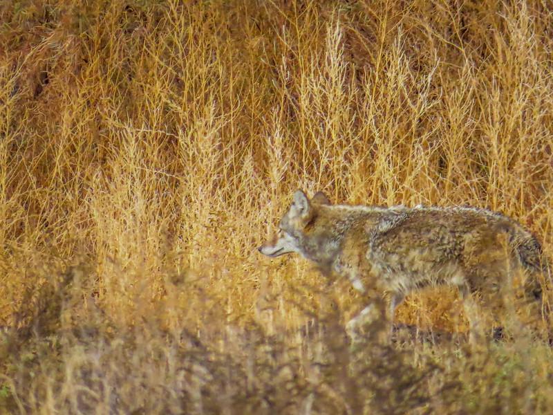 Coyote, Bosque del Apache NWR, Socorro NM